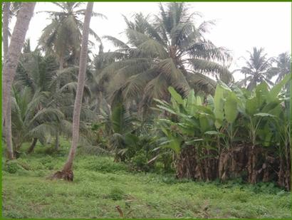 Ajara is full of coconut and banana plantations